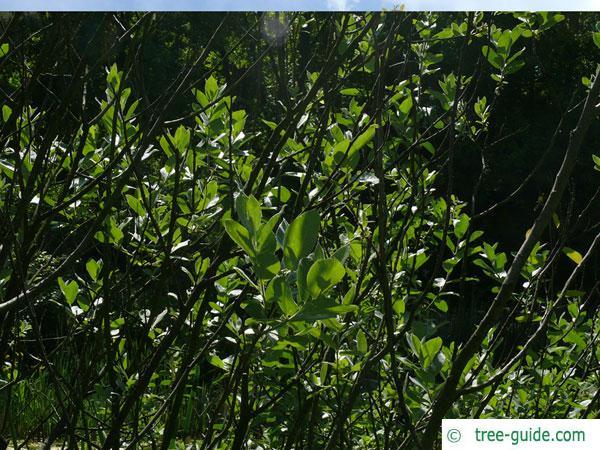 dune willow (Salix hookeriana) grew shape