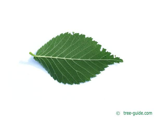 dutch elm (Ulmus hollandica) leaf underside