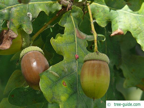 english oak (Quercus robur) acorns in autumn