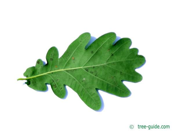 english oak (Quercus robur) leaf underside
