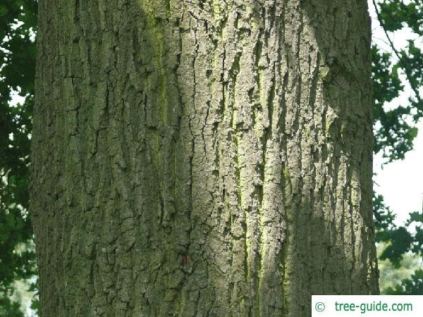 english oak (Quercus robur) trunk / bark