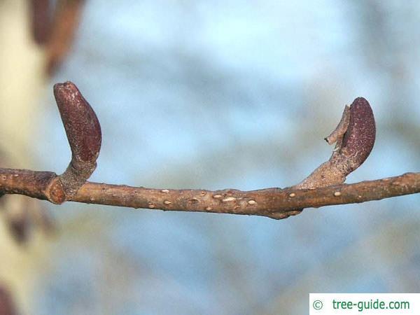 european alder (Alnus glutinosa) axial buds