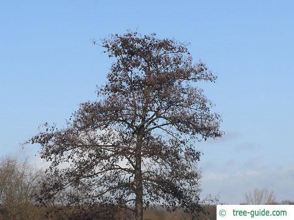 european alder (Alnus glutinosa) crown
