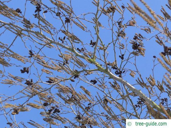 european alder (Alnus glutinosa) flower