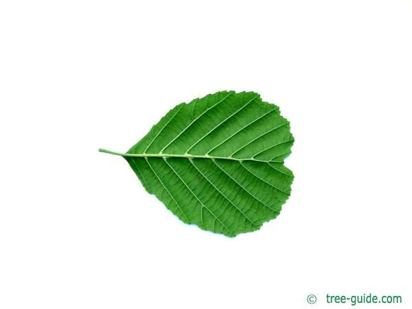 european alder (Alnus glutinosa) leaf  underside