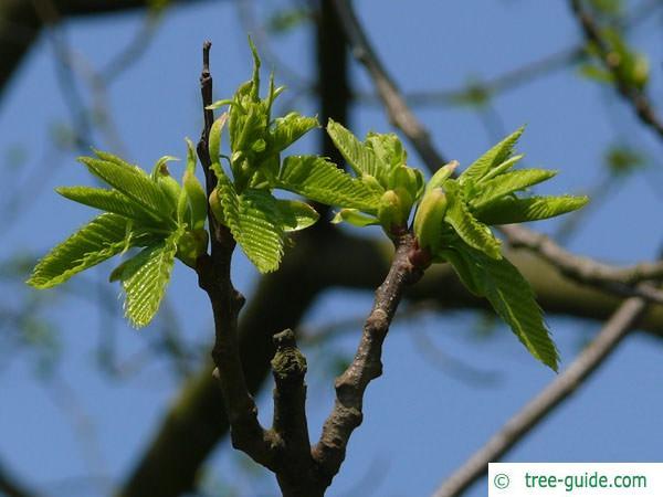 european chestnut (Castanea sativa) budding