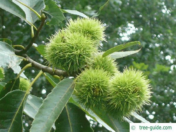 european chestnut (Castanea sativa) fruit foliage