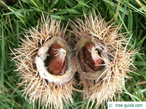 european chestnut (Castanea sativa) fruit and capsule