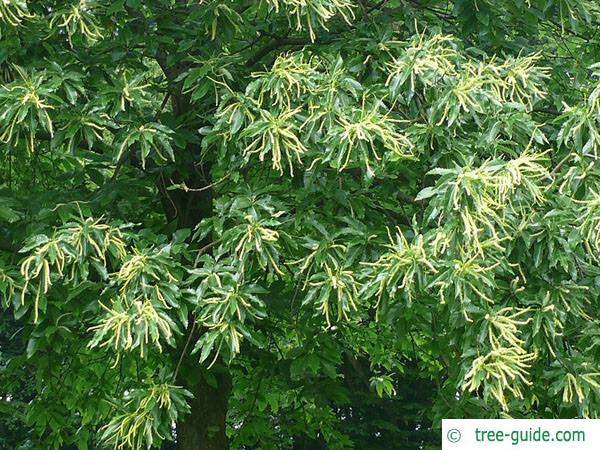 european chestnut (Castanea sativa) leaf flower