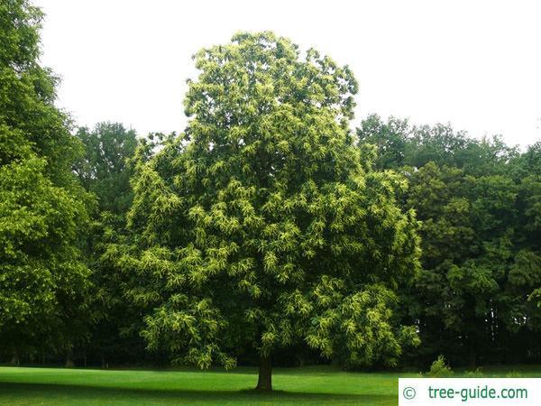 european chestnut (Castanea sativa) tree green