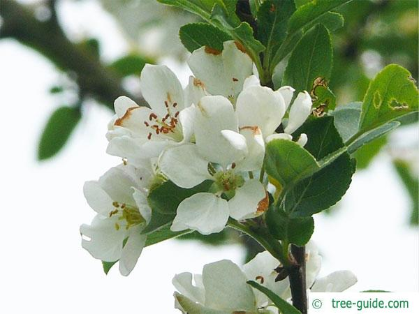 europeab crab apple (Malus sylvestris) apple flowers