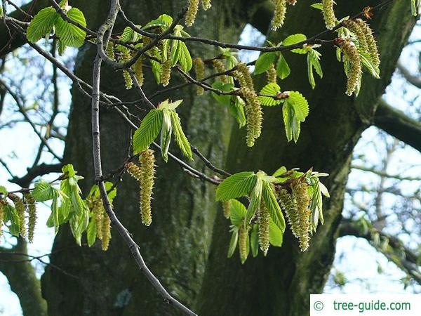 european hornbeam (Carpinus betulus) flower 2