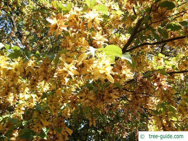 european hornbeam (Carpinus betulus) fruit 2