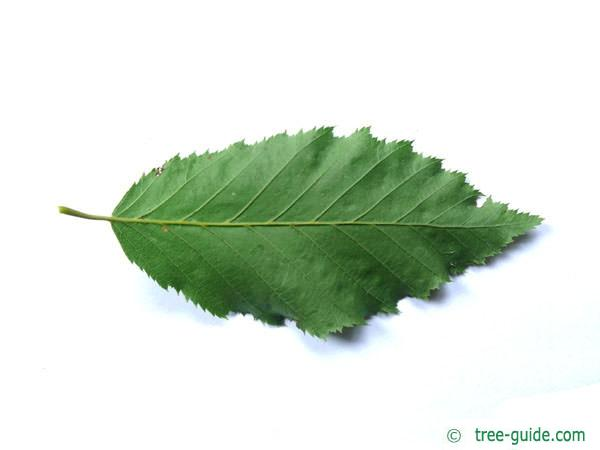 european hornbeam (Carpinus betulus) leaf underside