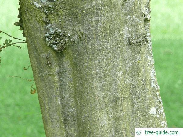 european hornbeam (Carpinus betulus) trunk