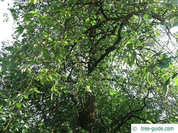 european white elm (Ulmus laevis) crown