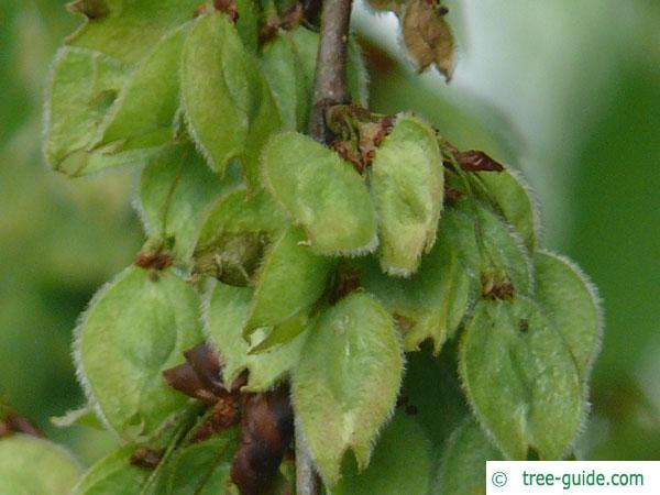 european white elm (Ulmus laevis) fruit