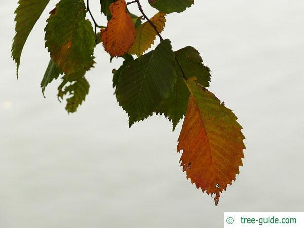 european white elm (Ulmus laevis) leaf in autumn