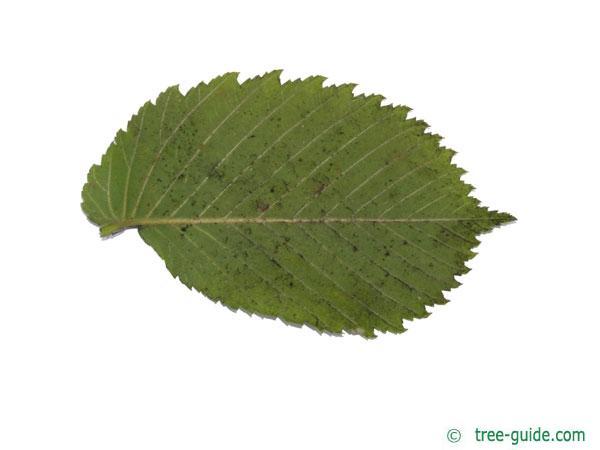 european white elm (Ulmus laevis) leaf underside