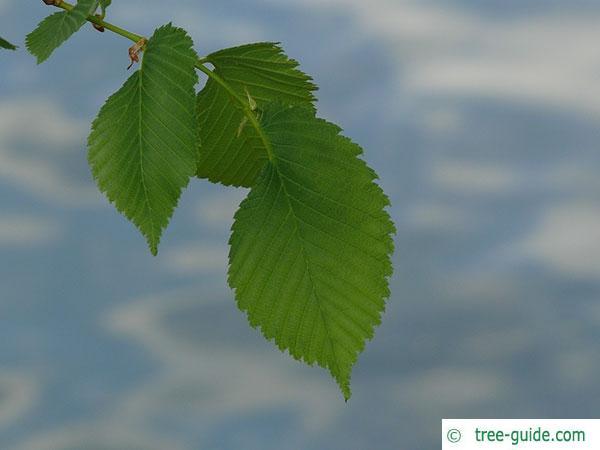 european white elm (Ulmus laevis) leaves
