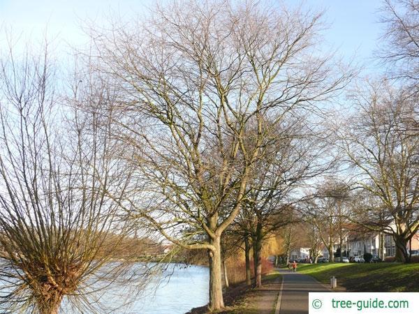 european white elm (Ulmus laevis) tree in winter