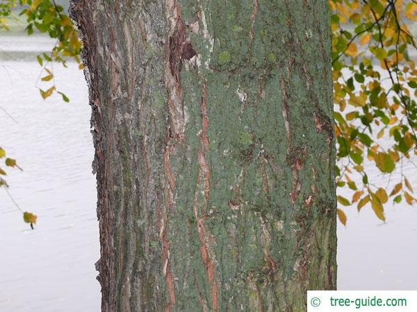 european white elm (Ulmus laevis) trunk / bark old