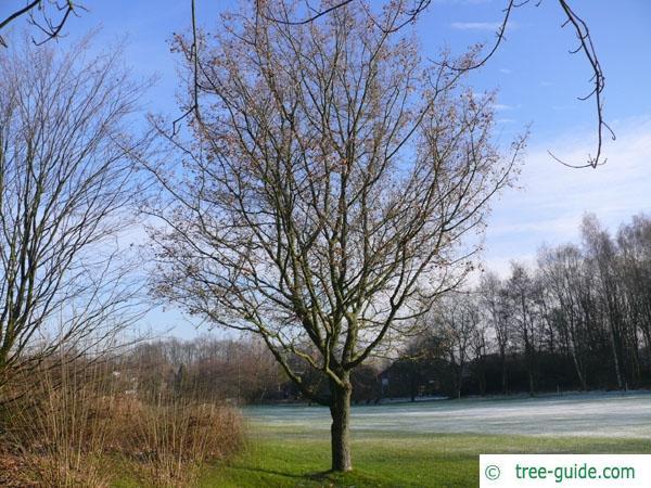 field maple (Acer campestre) tree in winter