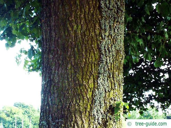 field maple (Acer campestre) trunk / stem