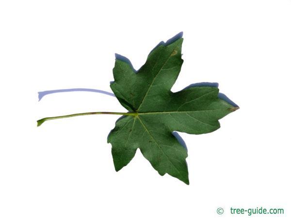 field maple (Acer campestre) leaf underside