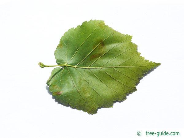 turkish filbert hazel (Corylus colurna) leaf underside