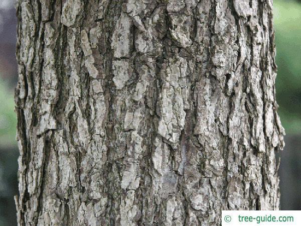 turkish filbert hazel (Corylus colurna) trunk / bark