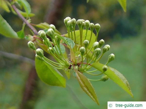 fire cherry (Prunus pensylvanica) flower bud