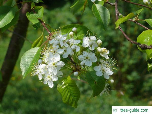 fire cherry (Prunus pensylvanica) flowers