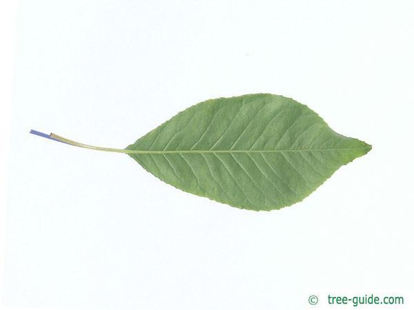 fire cherry (Prunus pensylvanica) leaf underside