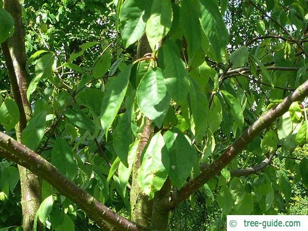 fire cherry (Prunus pensylvanica) foliage