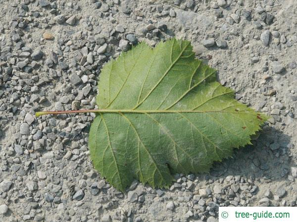 fireberry hawthorn (Crataegus chrysocarpa) leaf underside