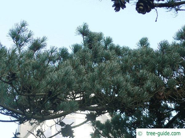 five needle pine (Pinus parviflora) branch