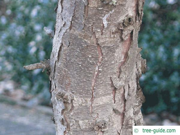 five needle pine (Pinus parviflora) trunk