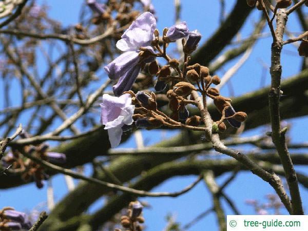 foxglove tree (Paulownia tomentosa) flower