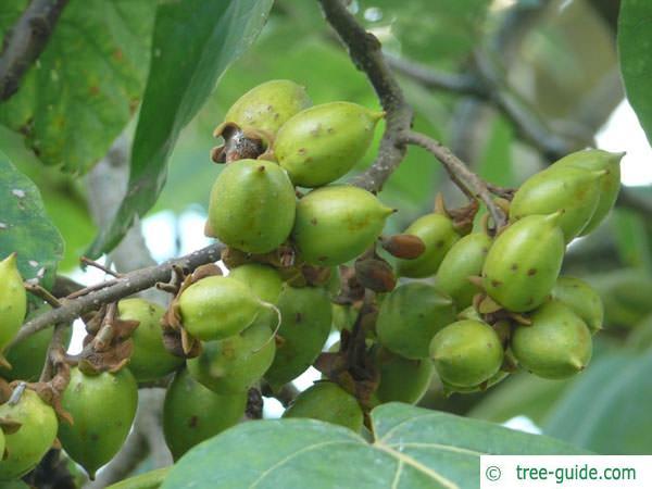 foxglove tree (Paulownia tomentosa) fruits