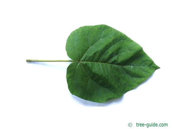 foxglove tree (Paulownia tomentosa) leaf