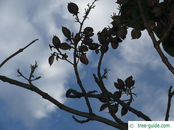 foxglove tree (Paulownia tomentosa) winter