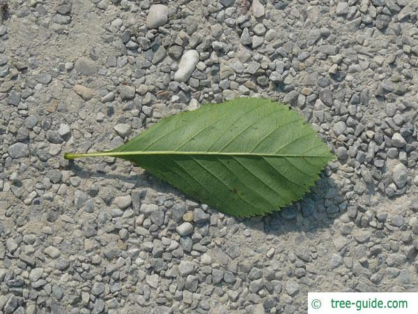frosted hawthorn (Crataegus pruinosa) leaf underside