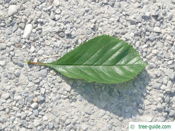 frosted hawthorn (Crataegus pruinosa) leaf