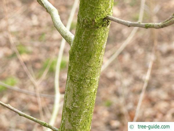 Golden oak (Quercus muehlenbergii)  stem / trunk / bark