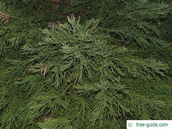 giant sequoia (Sequoiadendron giganteum)  branches