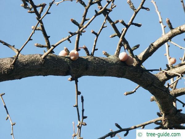 ginkgo (Ginkgo biloba) fruit winter