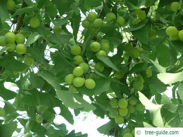 ginkgo (Ginkgo biloba) fruit