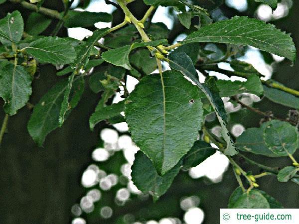 goat willow (Salix caprea) leaves