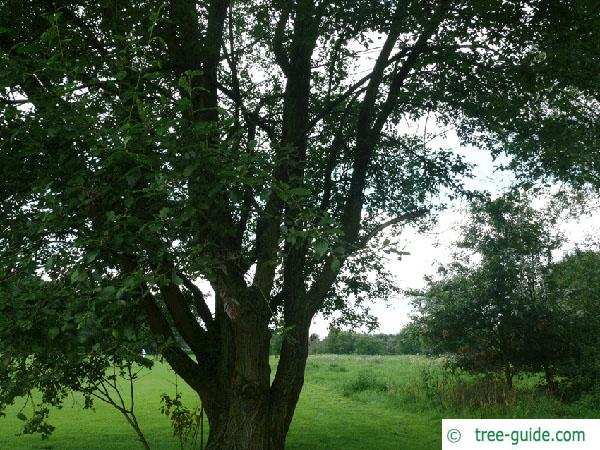 goat willow (Salix caprea) tree